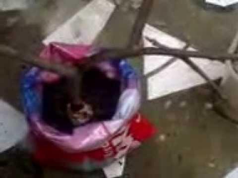 ENXERTO DE GOIABA VIDEO  2   ( Alporquia  )