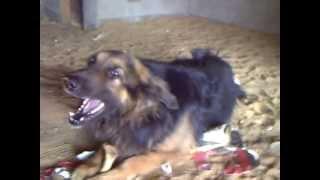 getlinkyoutube.com-اشرس  كلب بلاك جاك 2013