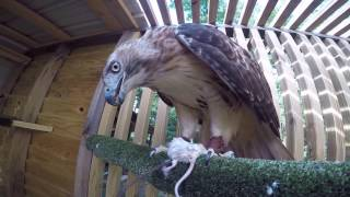 Falconry-Day to Day Routine During Offseason