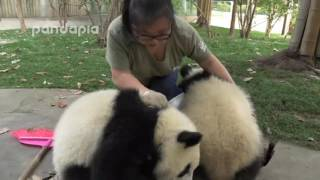 getlinkyoutube.com-Cute!What did panda do when zookeeper cleaning the leaves