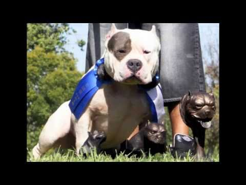 THE MOST CORRECT AMERICAN  BULLY BLUE PITBULL STUD ON YOU TUBE