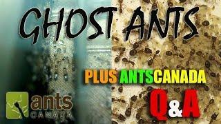 getlinkyoutube.com-Ghost Ants (Tapinoma melanocephalum) and Q&A