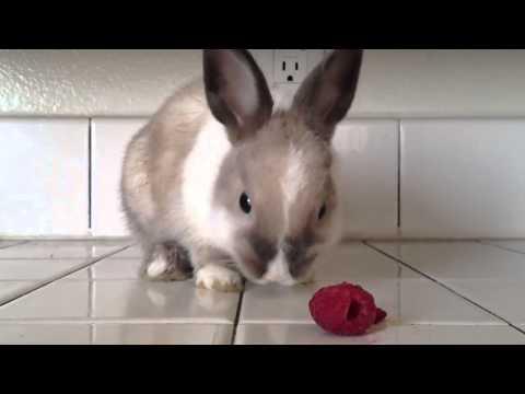 videos engraçados de whatsapp - Bunny Eating Raspberries!
