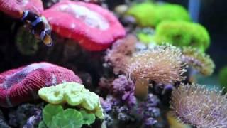 getlinkyoutube.com-My Soft Coral Tank