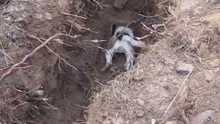 getlinkyoutube.com-Parson Russell Terrier & Badger