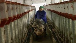 getlinkyoutube.com-El ritual de inseminación de los cerdos