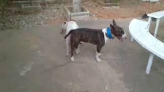 getlinkyoutube.com-primera monta trueno bull terrier ingles