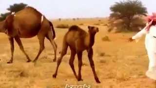 getlinkyoutube.com-اهل الابل + شيلة