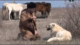 getlinkyoutube.com-Тюркские овчарки  казахский волкодав - Тобет