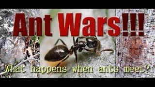 getlinkyoutube.com-Ant Wars: What Happens When Two Ant Colonies Meet?