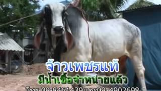 getlinkyoutube.com-พ่อพันธุ์วัวงาม เพชรแท้