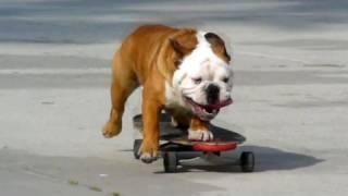 Pies na deskorolce