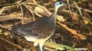 getlinkyoutube.com-canto do jaó (Crypturellus undulatus)