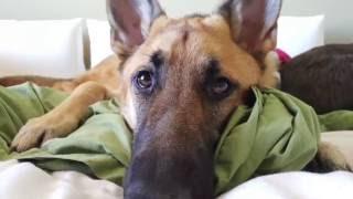 getlinkyoutube.com-Life of a German Shepherd (Puppy Movie)