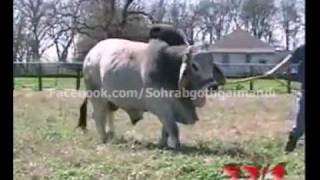 getlinkyoutube.com-World Heaviest Brahman Bull