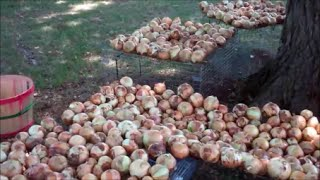 getlinkyoutube.com-Planting Onions For Maximum Size and Sweetness