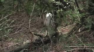 The Best Bigfoot Evidence ever! #1 of the Top Ten