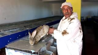 getlinkyoutube.com-تربية الارانب (روبورتاج شامل يهم كل المربين) Lapins d'élevage