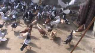 getlinkyoutube.com-kabutarbazi in India Güvercin kaftar  Pigeons Flying kit 5