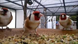 getlinkyoutube.com-Stieglitz Zucht jilguero 2014,birds goldfinch chardonneret