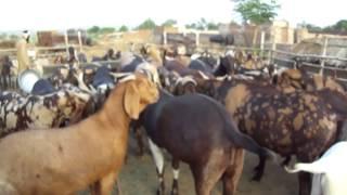 getlinkyoutube.com-FM GOATS FARM - EID GOATS 2012