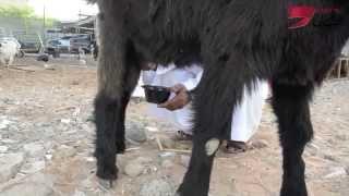 تيس حلوب ... يحطم الرقم القياسي في أسعار الماعز بالإمارات