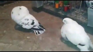 getlinkyoutube.com-تربية الحمام.رقصة التزاوج.الحمام النفاخ.method pigeon breeding -carrier-pigeon