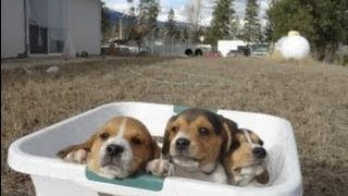 getlinkyoutube.com-Tiny Miniature Pocket Beagle Cute Puppies For Sale Playing Bath Time and Shots Meet Breeder