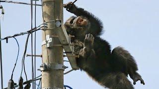 getlinkyoutube.com-Monyet Kabur Tersengat Listrik