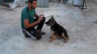 لوكا النوع جيرمن شيبر اوامر طاعه العمر اربع شهورJermain trained dog on the command