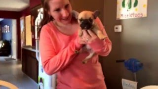 getlinkyoutube.com-Christmas surprise gift French Bulldog puppy