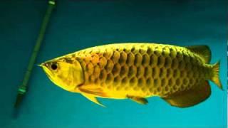 getlinkyoutube.com-24k gold arowana