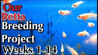 getlinkyoutube.com-Our Betta Breeding Project week 1 to week 14