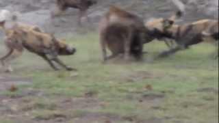 getlinkyoutube.com-مجوعة كلاب متوحشة تفترس ضبع Wild dogs prey hyena HD