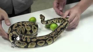 getlinkyoutube.com-[Clip] Animals speak [by Mahidol] ท้าพิสูจน์ความเชื่อเรื่องมะนาว กับเชือกกล้วย ไว้ปราบงู