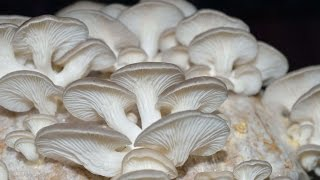 Easy method of Mushroom Cultivation in Home with malayalam subtitles