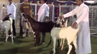 getlinkyoutube.com-المسابقة الكبرى لجمال الماعز الحجازي بمكه المكرمه لعام 1432هـ 1