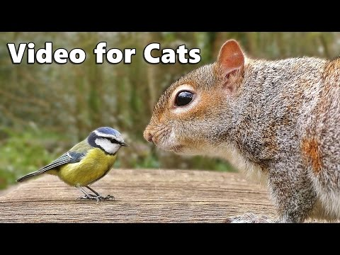 Videos for Cats to Watch : Birds Chirping and Squirrels Extravaganza