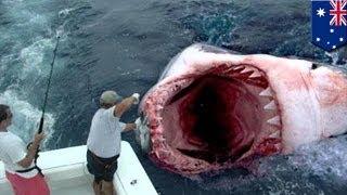 getlinkyoutube.com-Гигантскую большую белую акулу сожрал загадочный монстр