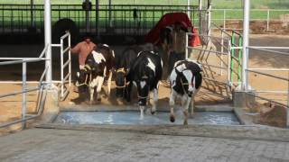Shwet Dairy - Jaipur's First Fully Automated Swing Over Cow Milking Parlour