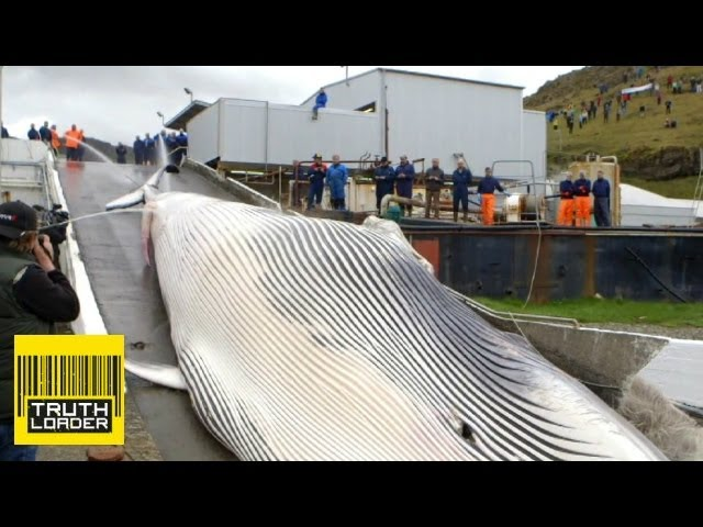Whale butchered in Iceland - endangered fin whale hunted and killed - Truthloader