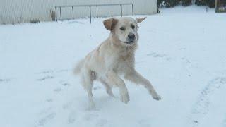 getlinkyoutube.com-GOLDEN RETRIEVER'S FIRST TIME IN SNOW! (Super Cooper Sunday #44)