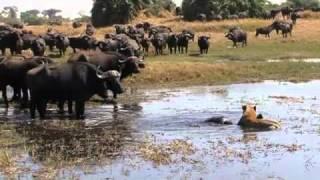 getlinkyoutube.com-Okavango Swamp Cats