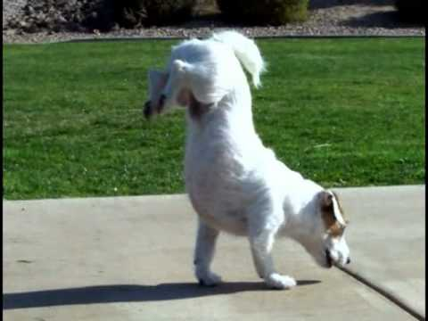 """Walking Hand Stand Dog"" World's Smartest Dog Jesse performs Amazing Dog Tricks"