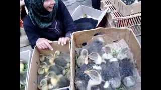 getlinkyoutube.com-سوق الطيور الحية بمدينة ملوى موقع ملوى اون لاين