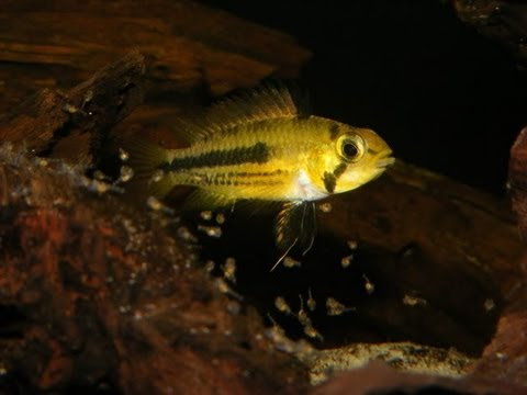 How to breed and care for Apistogramma and Dwarf Cichlids [Ep.1]