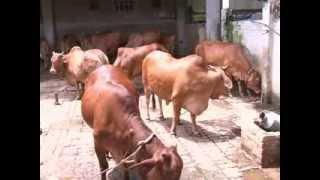 getlinkyoutube.com-shahiwal cow's (india-U.P-lucknow)