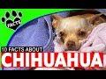 Chihuahua Dogs 101 OMG Facts About #chihuahua #Dog
