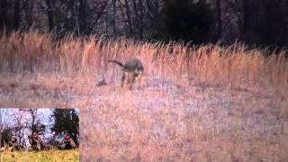 getlinkyoutube.com-Eastern Coyote Hunting: Coming in hot 2013
