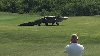 Alligator Taking A Casual Walk Across A Golf Course
